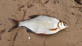 Flodfisk i buren stock video