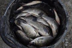 Flodfisk i en plast- hink guldfiskavverkning in i det netto Karp och karp weed Arkivfoto