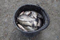 Flodfisk i en plast- hink guldfiskavverkning in i det netto Karp och karp weed Royaltyfria Foton