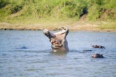 Flodhästöppningsmun i en följd av skott i den större platsen för St Lucia Wetland Park World Heritage, Saint Lucia, Sydafrika Arkivbild