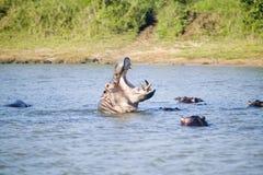 Flodhästöppningsmun i en följd av skott i den större platsen för St Lucia Wetland Park World Heritage, Saint Lucia, Sydafrika Royaltyfri Fotografi