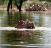 Flodhäst Arkivbilder