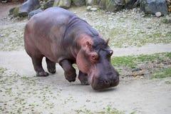 flodhäst Arkivfoto