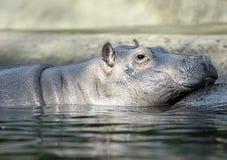 flodhäst Arkivfoton