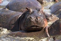 Flodhäst - Afrika royaltyfri fotografi