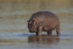 FLODHÄST AMPHIBIUS, Sydafrika royaltyfria foton