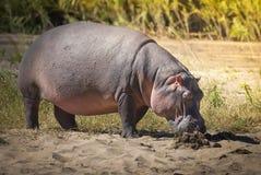 FLODHÄST AMPHIBIUS, Sydafrika arkivfoto