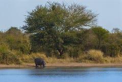 FLODHÄST AMPHIBIUS, Sydafrika fotografering för bildbyråer