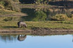 FLODHÄST AMPHIBIUS, Sydafrika royaltyfri bild