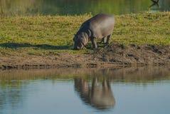 FLODHÄST AMPHIBIUS, Sydafrika royaltyfri foto