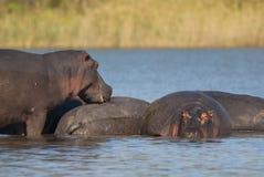 FLODHÄST AMPHIBIUS, Sydafrika royaltyfria bilder