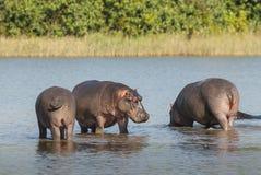 FLODHÄST AMPHIBIUS, Sydafrika arkivbilder