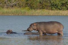 FLODHÄST AMPHIBIUS, Sydafrika royaltyfri fotografi