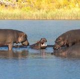 FLODHÄST AMPHIBIUS, Sydafrika arkivfoton
