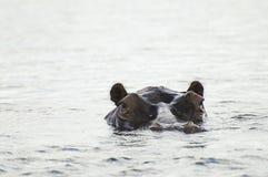 Flodhäst - Chobe nationalpark royaltyfri bild
