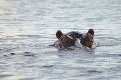 Flodhäst - Chobe nationalpark - Botswana fotografering för bildbyråer