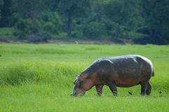 Flodhäst - Chobe nationalpark - Botswana royaltyfri bild