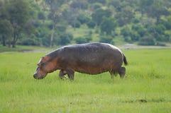 Flodhäst - Chobe nationalpark - Botswana arkivfoto