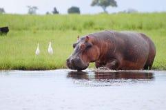 Flodhäst - Chobe nationalpark - Botswana arkivbild