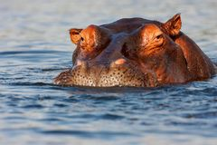 Flodhäst för vuxen man, flodhästamphibius Arkivfoto
