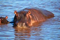 Flodhäst flodhäst i floden. Serengeti Tanzania, Afrika Arkivbild