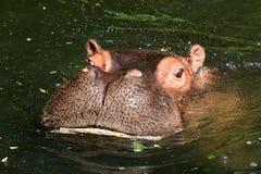 Flodhäst (flodhästamphibius) Royaltyfri Foto