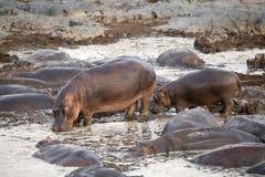 Flodhäst (flodhästamphibius) fotografering för bildbyråer
