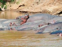 Flodhäst (flodhästamphibius) i floden. Arkivbilder