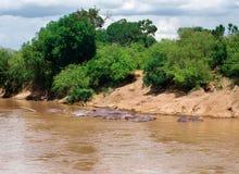 Flodhäst (flodhästamphibius) i floden. Maasai Mara Nati Fotografering för Bildbyråer