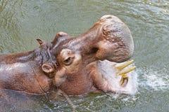 Flodhäst (flodhästamphibius) med den öppna monteringen Royaltyfria Foton