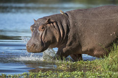 Flodhäst (flodhästamphibius) Sydafrika arkivbild