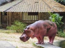 Flodhäst/flodhästen Arkivfoto