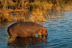 Flodhäst i aftonljus Royaltyfria Bilder