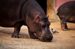 Flodhäst i den Lissabon zoo Arkivfoto