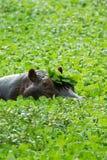 Flodhäst i en lake med lilly växter Arkivfoto