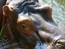 Flodhäst i floden Royaltyfria Bilder