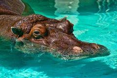 Flodhäst i pölen arkivbilder