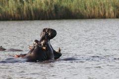 Flodhäst i Sydafrika Arkivfoton