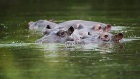 Flodhäst i vatten Sydafrika arkivfoto