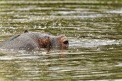 Flodhäst i vattnet Arkivbilder