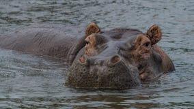 Flodhäst inom vattnet i Nile River arkivfoto