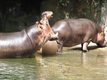 Flodhäst med dess mun som är öppen på zoo arkivfoton
