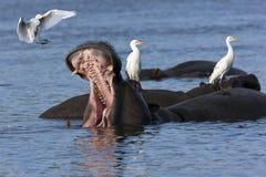 Flodhäst med Egrets Royaltyfria Bilder