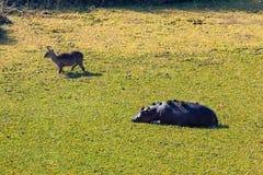 Flodhäst och waterbuck Arkivbilder