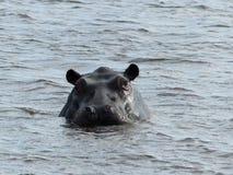 Flodhäst Okavango delta, Botswana Arkivbild