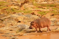 Flodhäst på banken av floden i Afrika royaltyfria bilder