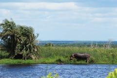 Flodhäst på ett damm Arkivfoto