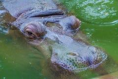 Flodhäst som är nära upp på zoo royaltyfri bild