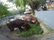 Flodhäst som äter bladet i en zoo arkivfoton