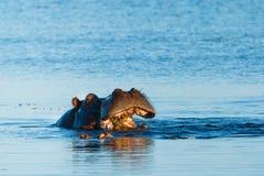 Flodhäst som äter i floden Chobe Botswana Afrika Royaltyfri Fotografi